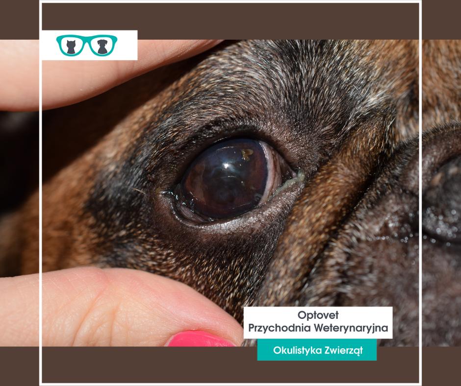 Zespół oczny raz brachycefalicznych