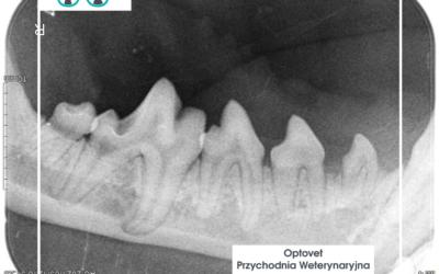 Stomatologia psa i kota w pigułce